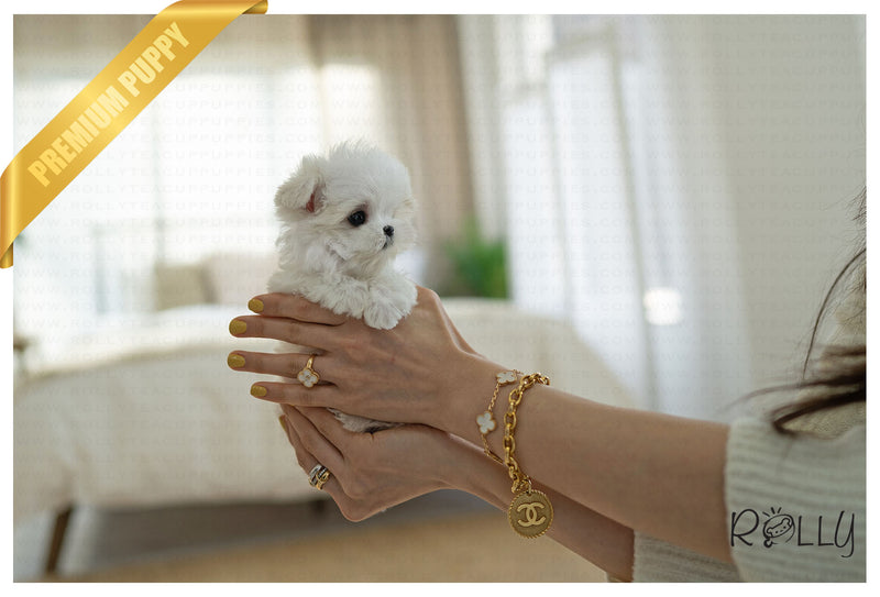 (PURCHASED by Law) SOUFFLE - Maltese. F - ROLLY PUPS INC