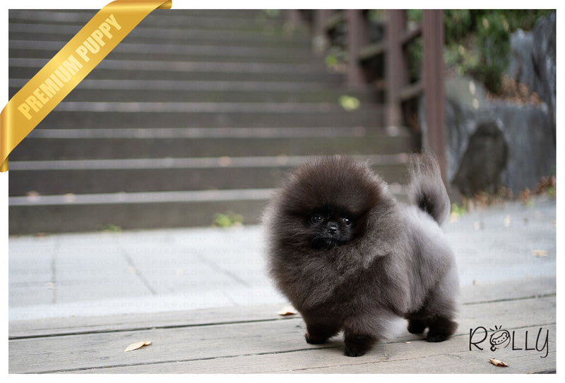 (PURCHASED by Butcher) KONA - Pomeranian. F - Rolly Teacup Puppies - Rolly Pups