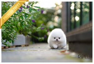 (Purchased by Nicolasein) Sparkle - Pom. F - Rolly Teacup Puppies