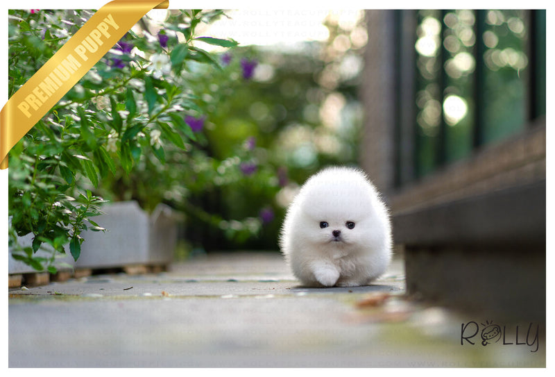 (Reserved by Nicolasein) Sparkle - Pom. F - Rolly Teacup Puppies