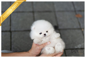 (Purchased by Nicolasein) Sparkle - Pom. F - Rolly Teacup Puppies - Rolly Pups