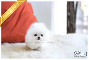 (SOLD to Marques) Spencer - Pomeranian. F - Rolly Teacup Puppies - Rolly Pups
