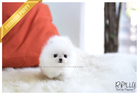 (RESERVED to Marques) Spencer - Pomeranian. F