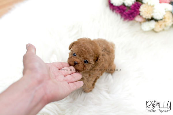 (SOLD to Chadha) Sriracha - Poodle. M - Rolly Teacup Puppies