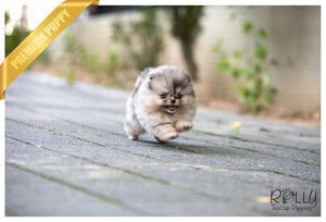 (SOLD to Johnson) Star - Pomeranian. F - Rolly Teacup Puppies - Rolly Pups