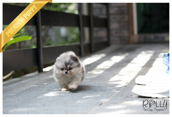 (SOLD to Johnson) Star - Pomeranian. F - Rolly Teacup Puppies