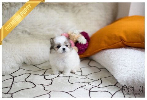 (Purchased by Novick)Star - Pomchon. F - Rolly Teacup Puppies