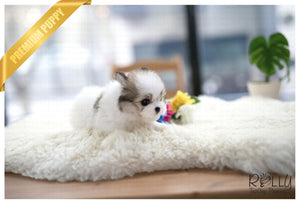 (Purchased by Novick) Star - Pomchon. F - Rolly Teacup Puppies - Rolly Pups
