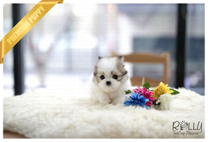 (Purchased by Novick) Star - Pomchon. F - Rolly Teacup Puppies
