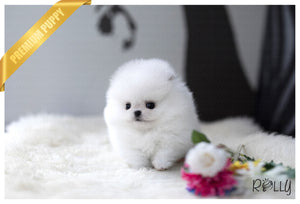 (Purchased by McKnight) Stella - Pomeranian. F - ROLLY PUPS INC