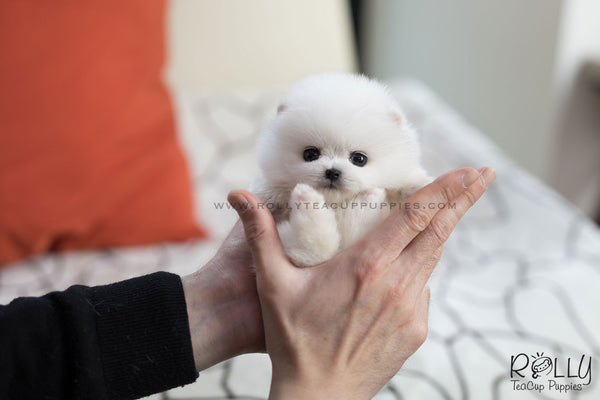 (SOLD to Blake) Stella - Pomeranian. F - Rolly Teacup Puppies