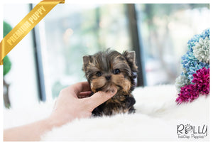 (SOLD to Bakhtiar) Stella - Yorkie. F - Rolly Teacup Puppies - Rolly Pups