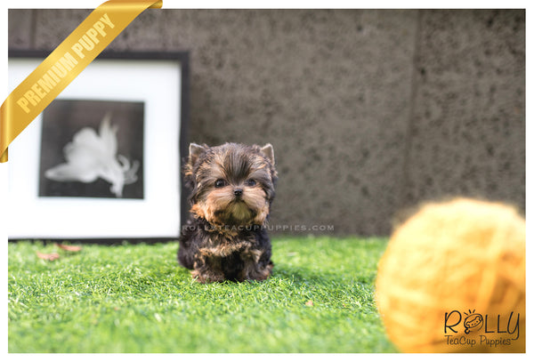 (SOLD to Bakhtiar) Stella - Yorkie. F - Rolly Teacup Puppies