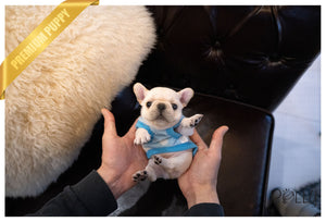 (Purchased by Rodriguez) Stitch - French. M - Rolly Teacup Puppies