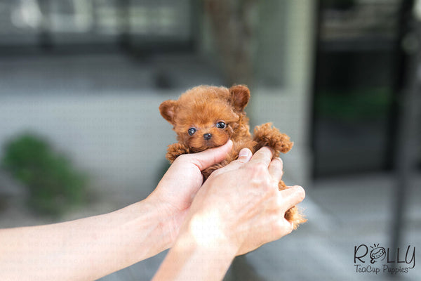 (SOLD to Manuele) Strawberry - Poodle. F - Rolly Teacup Puppies