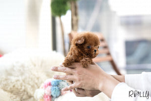 (Purchased by Deleon) Strawberry - Poodle. F - Rolly Teacup Puppies - Rolly Pups