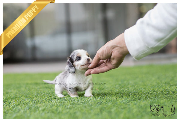 (SOLD to Harden) Stretch - Dachshund. M - Rolly Teacup Puppies