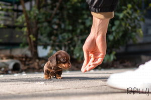 (PURCHASED by Varshavski) Stretch - Dachshund. M - Rolly Teacup Puppies - Rolly Pups