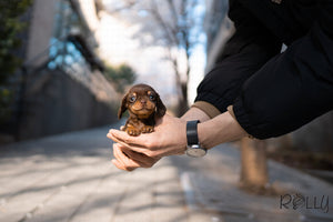 (PURCHASED by Varshavski) Stretch - Dachshund. M - Rolly Teacup Puppies