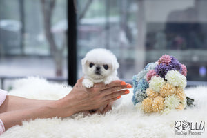 (SOLD to Alblooshi) Sugar - Pekingese. F - Rolly Teacup Puppies