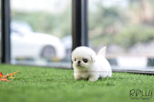(SOLD to Alblooshi) Sugar - Pekingese. F - Rolly Teacup Puppies - Rolly Pups