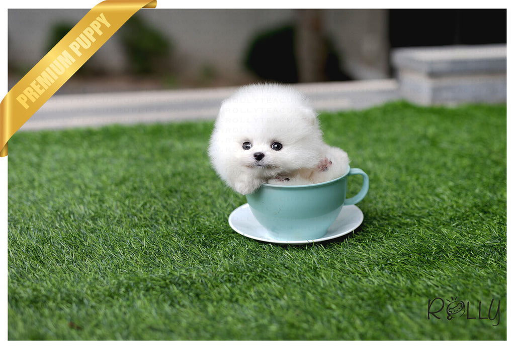 (Purchased by Cabrera) Sugar - Pomeranian. F - Rolly Teacup Puppies