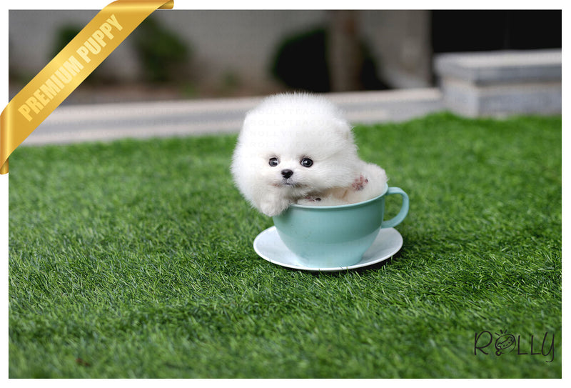 (Purchased by Cabrera) Sugar - Pomeranian. F - Rolly Teacup Puppies - Rolly Pups