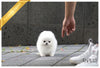 (Purchased by Cabrera) Sugar - Pomeranian. F - ROLLY PUPS INC