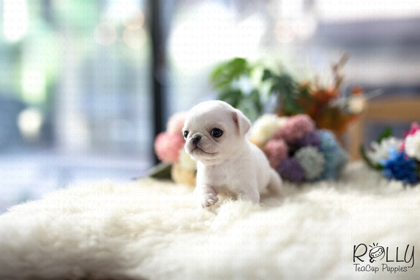(Purchased by Williams) Sugar - Pug. F - Rolly Teacup Puppies