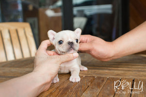 Summer - French Bulldog - Rolly Teacup Puppies - Rolly Pups
