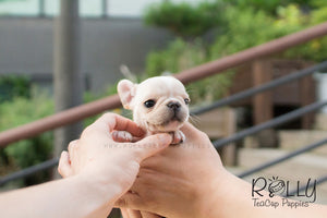 Summer - French Bulldog - Rolly Teacup Puppies