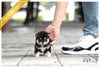 (Purchased by Almaktoum)Sushi - Shiba Inu. F - Rolly Teacup Puppies - Rolly Pups
