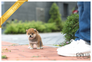 (SOLD to MDM) Sushi - Shiba. M - Rolly Teacup Puppies