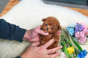 (Purchased by Sheppard) Sweet Pea - Poodle. F - Rolly Teacup Puppies