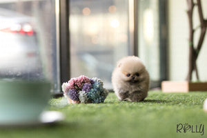 (Purchased by Damon) Sydney - Pomeranian. M - Rolly Teacup Puppies