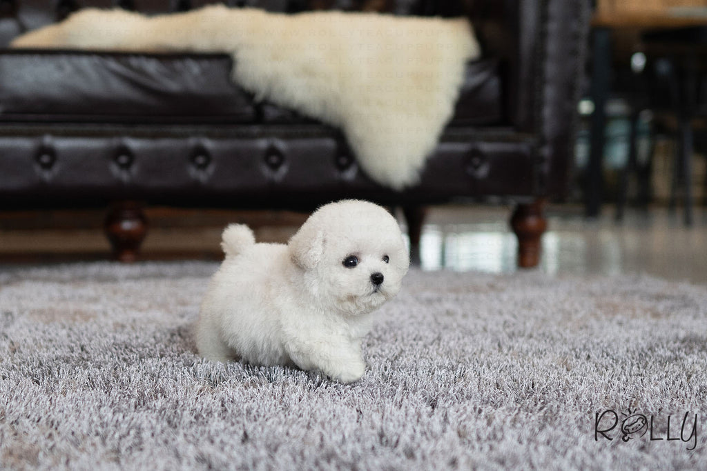 TOMI - Bichon. M - ROLLY PUPS INC