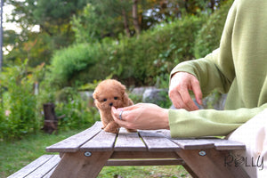 (Purchased by Kedoshim) Trixie - Poodle. F - Rolly Teacup Puppies - Rolly Pups