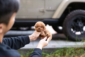 (Purchased by Kedoshim) Trixie - Poodle. F - Rolly Teacup Puppies