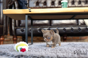 (PURCHASED by JIMENEZ) TACO - Chihuahua. M - Rolly Teacup Puppies - Rolly Pups
