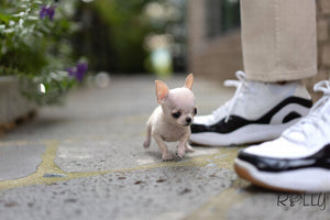 (Purchased by Lin) Taco - Chihuahua. M - Rolly Teacup Puppies
