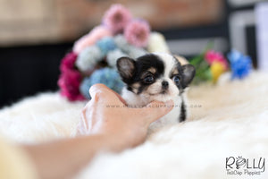 (SOLD to Renz) Taco - Chihuahua. M - Rolly Teacup Puppies