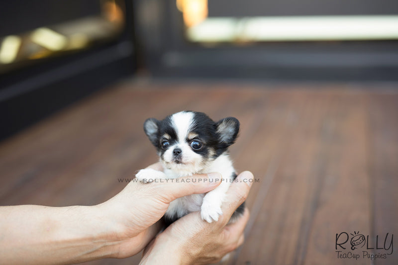 (SOLD to Renz) Taco - Chihuahua. M - Rolly Teacup Puppies - Rolly Pups