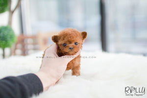 (SOLD to Schmid) Tada - Poodle. F - Rolly Teacup Puppies