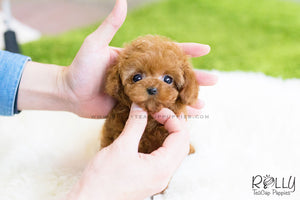 (SOLD to Pina) Taffy - Poodle. F - Rolly Teacup Puppies - Rolly Pups