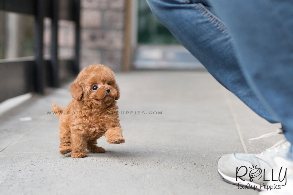 (SOLD to Pina) Taffy - Poodle. F - Rolly Teacup Puppies