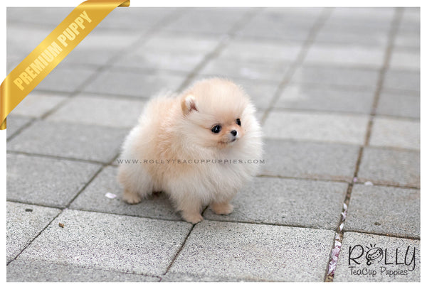 (SOLD to Mulyono) Talisa - Pomeranian. F - Rolly Teacup Puppies