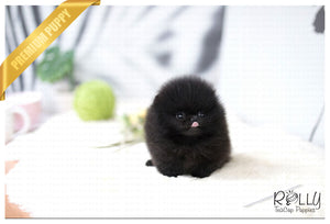 (Purchased by Veles) Tango - Pomeranian. M - Rolly Teacup Puppies - Rolly Pups
