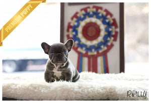 (Purchased by Rashid) Tank - French. M - Rolly Teacup Puppies