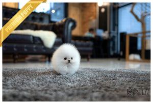 (Purchased by Levine) Tank - Pomeranian. M - Rolly Teacup Puppies