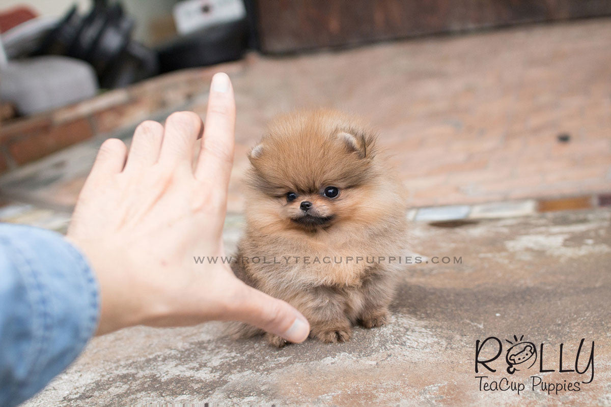 Barbie - Pomeranian– Rolly Teacup Puppies